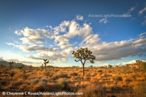 Joshua Trees and Clouds Forever